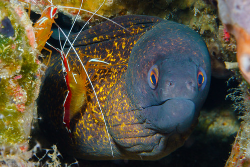 CelebesDivers - underwater 24 (Mooray eel with cleaner shrimp)