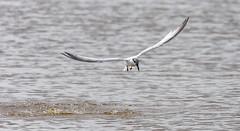 Tern Fishing (JDR1982) Tags: st cyrus beach bird tern nikon d7200 300mm pf f4