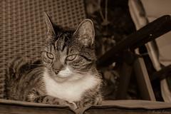 Simba (martinap.1) Tags: cat katze kätzchen kat kitty kedi kitten kot kissa nikon nature nikond3300 natur nikon40mmmacro nikon40mm 7dwf sliderssunday hss