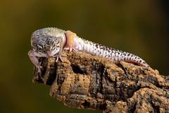 Leopard Gecko, CaptiveLight, Ringwood, Hampshire, UK