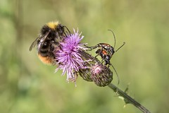 insects (Bea Antoni) Tags: bumblebee hummel biene bee tamron canon makro macro plant flower distel thistle nature summer sommer insekten insekt insects insect
