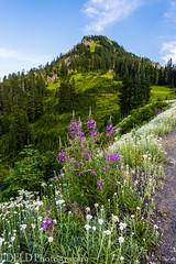 NT3.0106-MRNP170710_69814 (LDELD) Tags: chinookpass mountrainiernationalpark mountains alpine nachesmountain wildflowers green forest