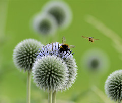 The bee and the wasp. (Eastern Traveller) Tags: globe thistle bee wasp flying july summer czech republic prague green polination flora explored explore nikon d800 70200