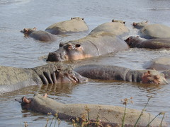 DSC00454 (francy_lioness) Tags: safari jeep animals animali ippopotami leone savana gnu elefante iena pumba tanzaniasafari ngorongorocratere gazzella antilope leonessa lioness facocero