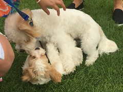 2017 (Day 225 - 13th Aug): Luna makes friends (honest) with her first fellow Cavachon