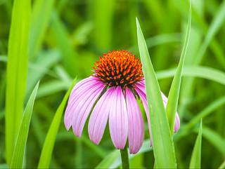 Echinacea - Flower's Peekaboo.. (Explored)