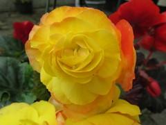 Begonias... (Marie on Flickr) Tags: yellow red garden colourful hanging basket petals begonias orange