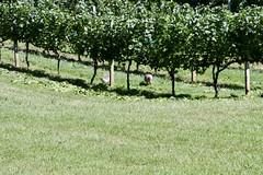 File264 (UGA CAES/Extension) Tags: grapes ugaextension cranecreekvineyards wine viticultureteam viticulture northgeorgiavineyards vineyards vines georgiawine uga