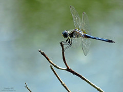 BLue Dasher male IMG_7663_edited-2 (Jennz World) Tags: ©jennifermlivick mountpleasantnaturepark mtpleasant ontario canada dragonfly dragonflies damselfly damselflies