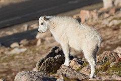 Mountain Goat kid playing king of the mountain