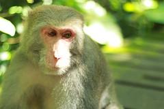 Thoughtful monkey - Kaohsiung (Chapo78) Tags: taiwan kaohsiung monkey nature green thoughtful