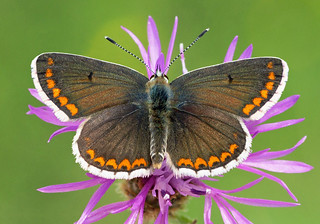 Brown Argus Butterfly  (aricia agestis)