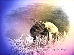 Little Bumble (Lana Pahl / Country Star Photography) Tags: sliderssunday creativeprocessing processingprojects processingorg