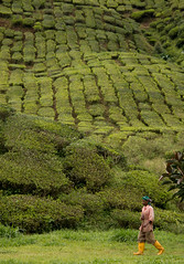 Recogida de la hoja del té (Salvatoren) Tags: malasia malaysia asia travel teaplantation bohtea cameronhighlands green nature tea té plantación