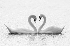 I Love You Too! (Linda Martin Photography) Tags: dorset birds muteswan wildlife nature uk longhamlakes naturethroughthelens