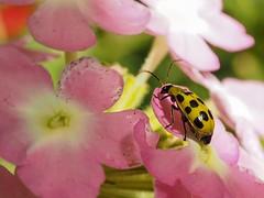 Cucumber beetle (piranhabros) Tags: eugene macrophotography macro plant flower garden animal insect beetle cucumberbeetle spottedcucumberbeetle diabroticaundecimpunctatahowardi