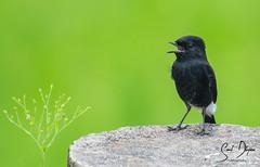 DSC_2509 (@sumitdhuper) Tags: wallshare nature bird black pied bushchat male