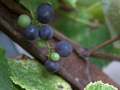Grape (Nelson-V.) Tags: