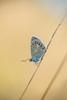 Polyommatus icarus (fabriciodo2) Tags: polyommatusicarus argusbleu papillon nature macro viesauvage
