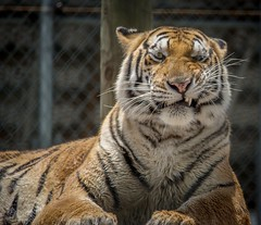 Moody (tshabazzphotography) Tags: anger annoyed zoo sanctuary rescued teeth mean photogenic caged safe beast canonphoto canon emotion candid ferocious animal cat tiger portrait