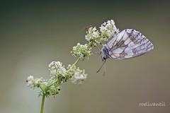 Mier en vlinder/Ant and butterfly/Dubbelportret (roelivtil) Tags: ant dambordjemelanargiagalathea marbledwhite mier flower macrodreams