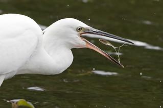 Little egret - down the hatch