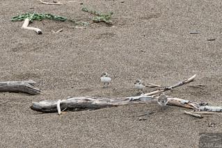 Snowy Plover fledglings