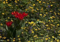 Composición con flores... (svet.llum) Tags: tulipán flor flores primavera naturaleza planta paisaje parque moscú rusia