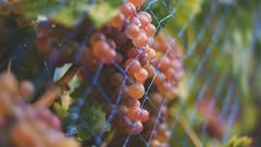 Raisin (Fabrice1965) Tags: suisse neuchâtel vendanges raisins vin oeildeperdrix pinotnoir rosé blanc rouge nikon d750