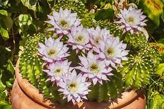 Flores del Cactus (Carlos SGP) Tags: macrofotografía jardín flor flower garden flowers nature planta jardin canon eos aire libre flores cactus fleur flora madrid españa es