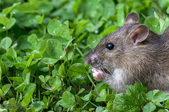 Brown Rat (parry101) Tags: cardiff whitchurch forest farm south wales bird birds animal outdoor brown rat rats rodent mammal geraint parry geraintparry
