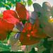 sweet peas in a window (Maine Islander) Tags: botany garden