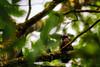 european squirrel (TomArt96) Tags: ast baum eichhörnchen fotografie natur tier tiere walnuss tree squirrel nature animal walnut