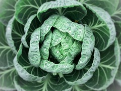 Unfolding (finlaymackenzie) Tags: greenplant europe uk inverness scottishhighlands scotland gardenplant glow plant food leaves water vignette evening morning dew photo art vegetable veg cabbage green unfolding