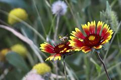 the dancer... (@Katerina Log) Tags: upsidedown dancer outdoor florafauna flower foliage plant blossom bokeh depthoffield colour closeup macro nature natura katerinalog insect sonyilce6000 garden 105mmf28