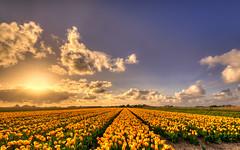 Field of golden tulips. (Alex-de-Haas) Tags: oogvoornoordholland 1635mm d750 dutch europe hdr holland nederland nederlands nikkor nikon noordholland thenetherlands bloei bloem bloemen bloemenbijeenkomst bloemenveld clouds flower flowerfields flowerbed flowers landscape landschap lucht nature natuur plant skies sky sol sun sundown sunset tulip tulipfields tulipa tulips tulp tulpen tulpenvelden wolken zon zonsondergang
