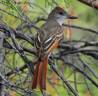 Brown Crested Flycatcher-91917- (3)