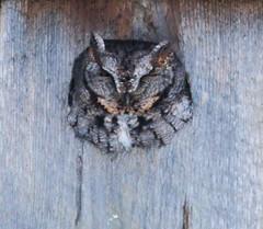 Screech-Owl_Livonia-MI_02-13-2011eb (Count_Strad) Tags: birds bird bluejay screechowl owl jay livonia mi michigan