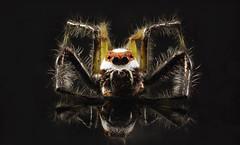 spider reflection (pradeepmohanty1) Tags: macro spider reflection closup black back ground