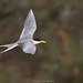 River Tern (jadi_jal) Tags: nature naturephotographer naturelover beautyofnature beautiful wildlifephotography wildlife birdwatcher birder birds flicker colors flight rivertern sialkot pakistan
