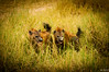 Hyenas, Serengeti National Park, Tanzania / Hyènes, Parc National du Serengeti, Tanzanie (jaybles_69) Tags: afrique serengeti tanzanie nikonnaturephotography naturemasterclass fantasticwildlife tamron nikon wildlife animal mammal mammifère tanzania africa serengetinationalpark hyena hyène nationalgeographicwildlife nature