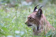 Lynx (Cloudtail the Snow Leopard) Tags: luchs wildpark hanau alte fasanerie klein auenheim tier animal lynx katze cat feline säugetier mammal beutegreifer predator pinselohr