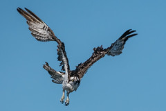 Osprey (mjeedelbr) Tags: osprey