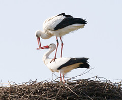 The stork tower [explored] (Peter Branger) Tags: smileonsaturday featheredfriends bird stork nest storknest