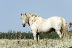Where've you been all my life (prairiegirrl) Tags: mustang wildhorse warrior hunk greenmountain wyoming