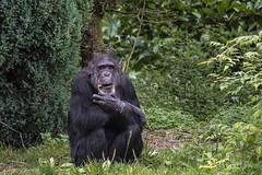 Chimp 25th Aug 17 (1) (R.J.Boyd) Tags: chester zoo animals wildlife exotic creatures mammals park apes primates chimp chimpanzee africa
