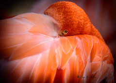 Caribbean Flamingo - Explored (Silva's Aragorn1229) Tags: bird portrait macro eye eyes colorful beauty beautiful nature wildlife animal outdoors staring nikon nikond5200 wild feathers caribbean pink orange explored explore