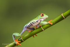 Red-eyed tree frog - On the move D50_8159.jpg (Mobile Lynn) Tags: amphibian frog nature redeyetreefrog captive agalychniscallidryas fauna wildlife bournemouth england unitedkingdom gb coth specanimal sunrays5 ngc coth5 npc