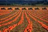 Autumn Fields (Ian Sane) Tags: ian sane images autumnfields pumpkins farm equipment field mount angel oregon landscape photography agriculture canon eos 5ds r camera ef70200mm f28l is usm lens