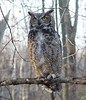 Great Horned Owl (helmutnc) Tags: hennysanimals hg specanimal sweetfreedom